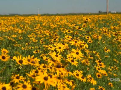 Image of field of yellow flowers.