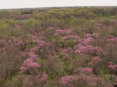 Aerial image of redbud trees in bloom.
